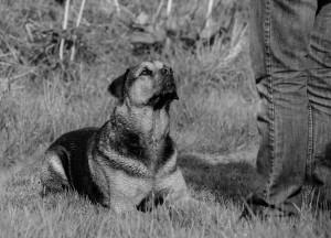 Reggie Canine Perspective CIC