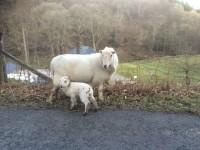 Dogs Sheep Lambs