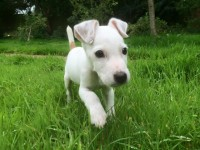 Reliable Recall puppy