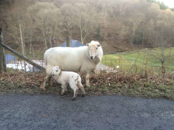 Protected: Walkies During Lambing Season. Training 101.